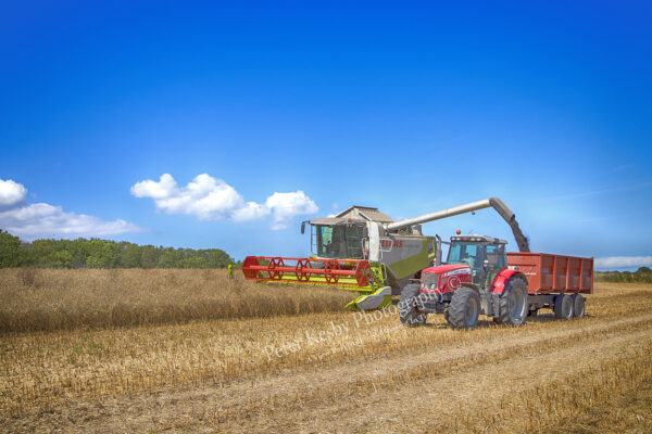 Combining - Collecting Rapeseed