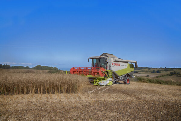 Combining - Collecting Rapeseed - #2