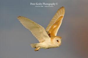 Barn Owl #1