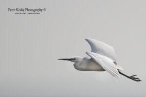 Little Egret #1