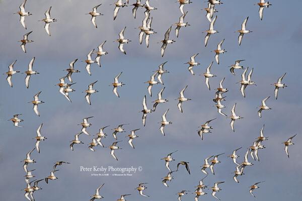 Godwits In Flight