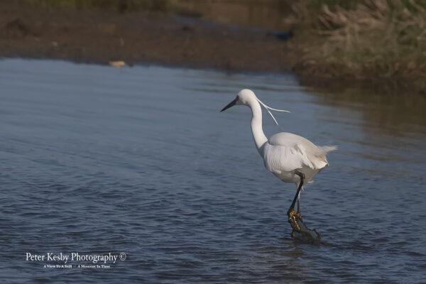 Little Egret #2