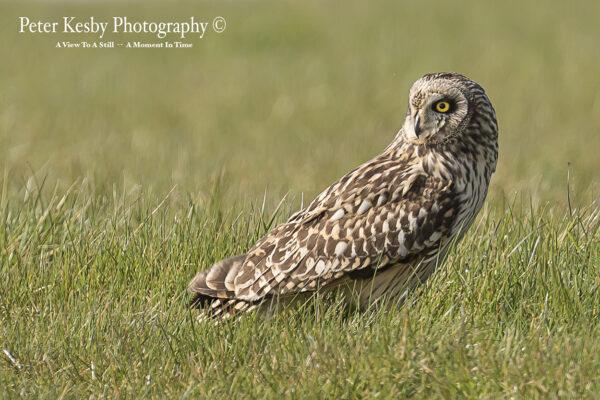 Short Eared Owl #1