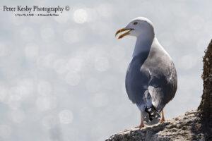 Heron Gull