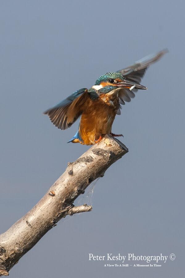Kingfisher #3