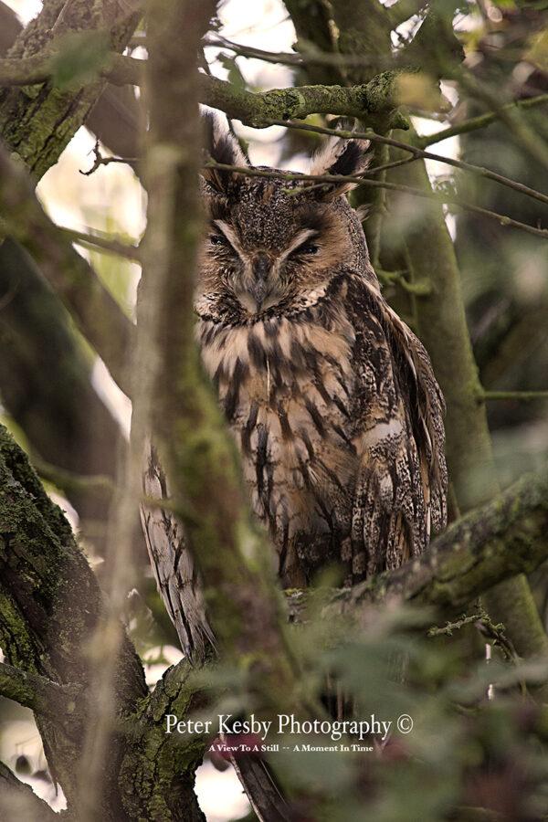 Long Eared Owl #1
