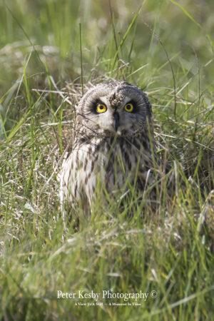 Short Eared Owl #3