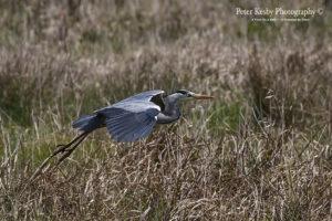 Grey Heron #3