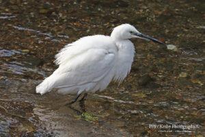 Little Egret #3