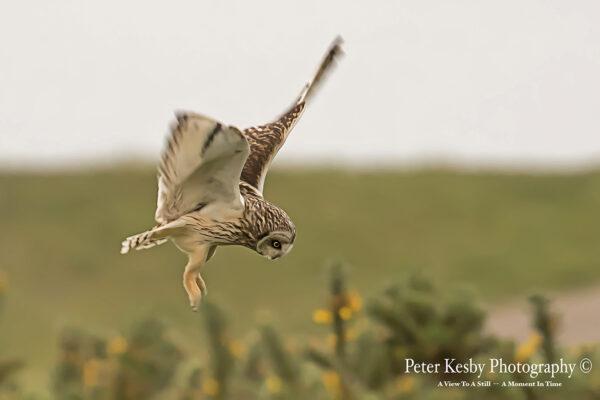 Short Eared Owl In Flight #2